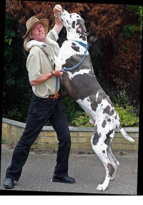 Great Dane 23 Painted German Breed Of Domestic Dog Animal Pet Love Sweet Poster