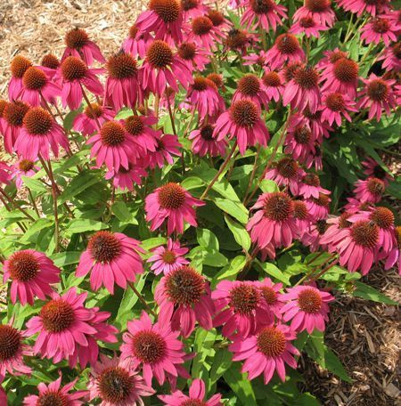 Our Potted Echinacea Plants For Sale Are Guaranteed To Arrive Alive And Thriving In 2020 Plant Sale Echinacea Plants