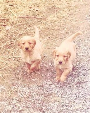 Litter Of 8 Golden Retriever Puppies For Sale In Dandridge Tn