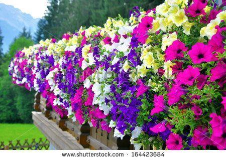 Petunie Blumen Und Fotos Balkon Pflanzen Pflanzideen Blumenkubel