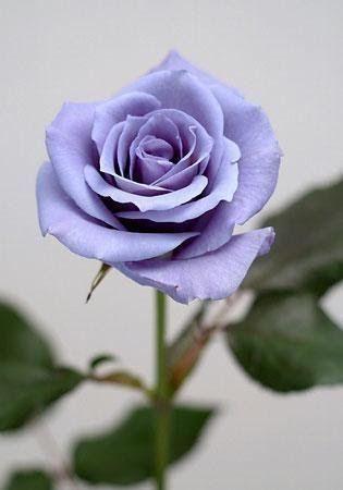 Bunga Mawar Warna Ungu