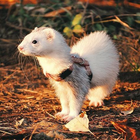 Ferret The Cute Pet Small Pet By Pets Planet Cute Ferrets Funny Ferrets Cute Animals