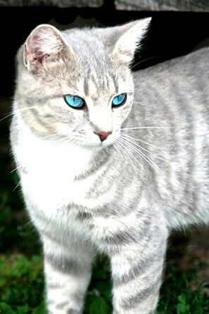 Silvermist She Cat Grey Tabby Cats Cat With Blue Eyes Grey And White Cat