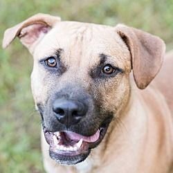 Available Pets At Go Rescue Pet Adoption Center In Virginia Beach Virginia Black Mouth Cur Pet Adoption Center Black Mouth Cur Dog