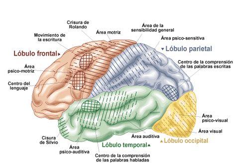 Partes Del Cerebro Y Sus Funciones Te Lo Contamos Todo Anatomia Del Cerebro Humano Cerebro Cerebro Humano