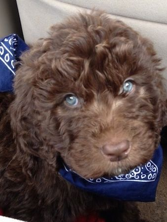 Close Up A Brown Wavy Coated Blue Eyed Newfypoo Puppy Is