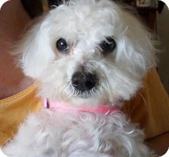 Atlanta Ga Maltese Meet Tiny A Dog For Adoption Http Www Adoptapet Com Pet 13822325 Atlanta Georgia Maltese Pets