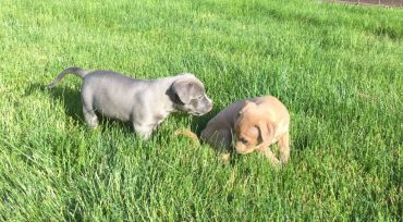 2 Puppies Stolen From Humane Society Of Johnson County Returned To