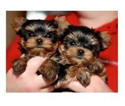Yorkies 1 Female 1 Male Augusta Ga Asnclassifieds Teacup Yorkie Puppy Yorkie Puppy Yorkshire Terrier Puppies