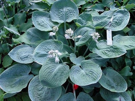 Hovercraft Hosta - 4.5 Inch Container (NEW For 2018!)