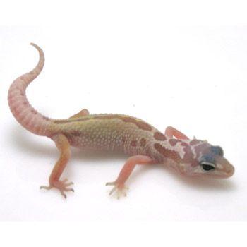 Leopard Gecko at PETCO