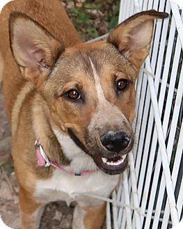 Albany Ny Australian Shepherd German Shepherd Dog Mix Meet