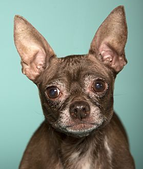 Pictures Of Edgar A Chihuahua For Adoption In Chicago Il Who