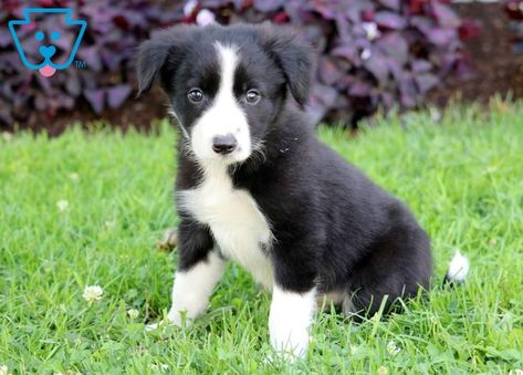Lassy Collie Puppies For Sale Border Collie Puppies Collie Puppies