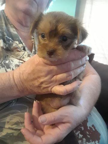 Litter Of 3 Yorkshire Terrier Puppies For Sale In Saint Petersburg Fl Adn 54704 On Puppyfinder C Yorkshire Terrier Puppies Puppies For Sale Yorkshire Terrier