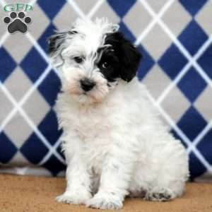 Mini Schnoodle Puppies For Sale Schnoodle Puppy Mini Schnoodle