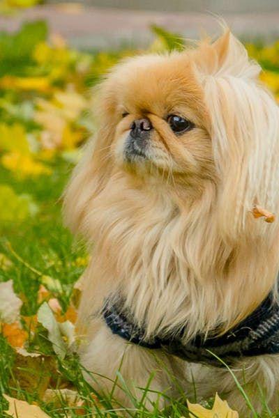 Pekingese Dog Names Wag