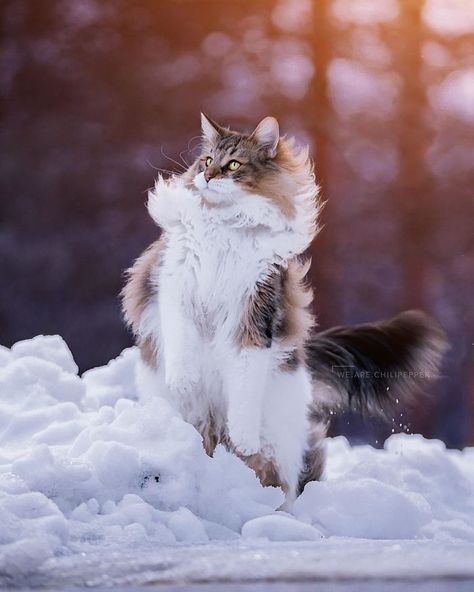 Owners Let Their Norwegian Forest Cat Roam Freely Awesome Picz In 2020 Norwegian Forest Cat Forest Cat Norwegian Forest