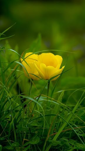 Download 720x1280 Wallpaper Grass Yellow Tulips Bloom Samsung Galaxy Mini S3 S5 Neo Alpha Son Yellow Tulips Nature Background Images Flowers Photography