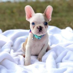 Frenchton Designer Bulldog Terrier French Boston Animal Facts Dogs Mixfrenchton Dogs French Bulldog Bost Frenchton Dog Designer Dogs French Bulldog