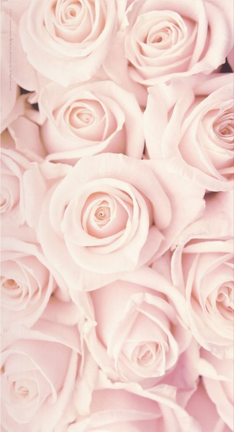 Pink Roses Wallpaper Roses Wallpaper Roses Pink Roses