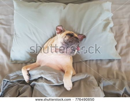 Cute Pug Dog Sleep On Pillow In The Bed And Wrap With Blanket Feel
