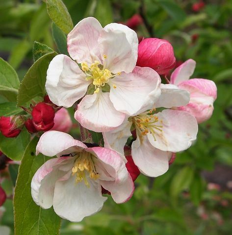 Bees Butterflies Apple Blossom Flower Flowers Photography Flower Pictures