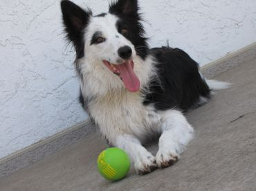 Border Collie Pictures Facts And User Reviews Smartest Dogs