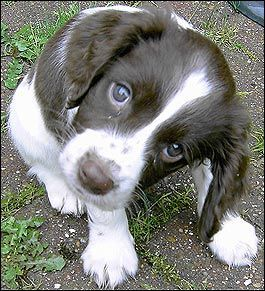 English Springer Spaniel Puppy - not guilty