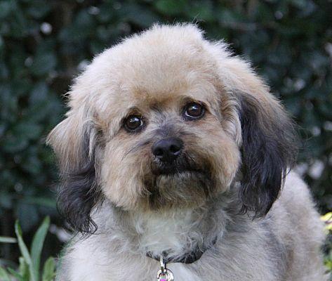 2 15 18 Newport Beach Ca Havanese Meet Kent A Dog For Adoption