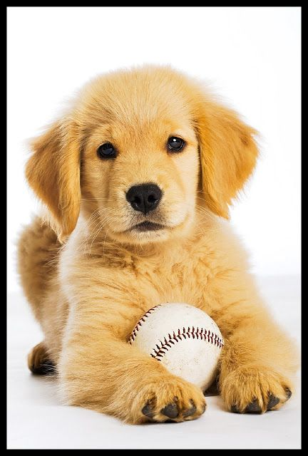 Adorable Golden Retriever Puppy With Baseball Cute Puppies