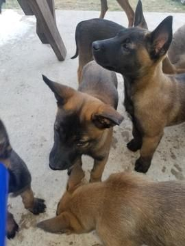 Litter Of 8 Belgian Malinois Puppies For Sale In Austin Tx Adn