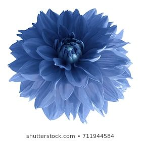 Blue Dahlia Flower Isolated On White Background With Clipping Path Closeup No Shadows Nature Blue Dahlia Dahlia Flower Dahlia