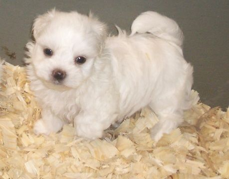 Maltese Puppy For Sale In Carrollton Ga Adn 71281 On Puppyfinder