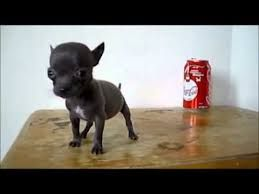 Image Result For Pitbull Mixed With Teacup Chihuahua Full Grown