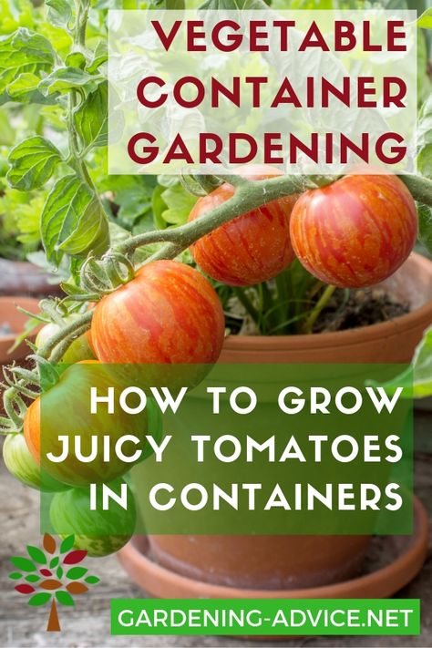 Would you just love to grow your own tomatoes...but you don't have a garden? No problem...tomatoes grow really well in pots! Click here for a complete guide to growing tomatoes in containers! #gardening #gardeningtips #permaculture  #homesteadgarden #organicgardening #homesteading #urbangardening #vegetablegardening #growingfood #tomatoes