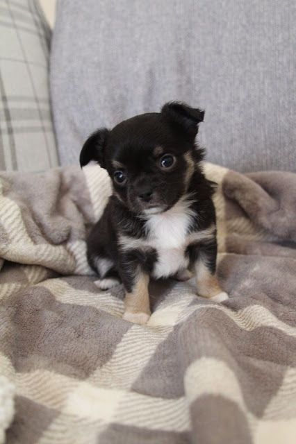 Chihuahua Puppies Akc Micro Teacup Puppies For Sale In 2020 Chihuahua Puppies Teacup Chihuahua Puppies Micro Teacup Puppies