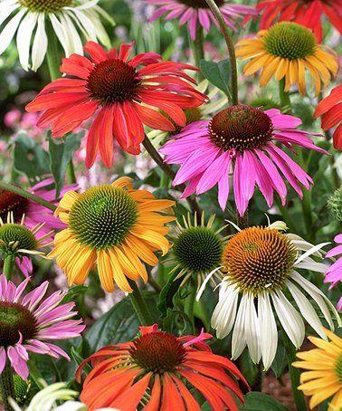 This Coneflower Bare Root Set Of Five Is Perfect Zulilyfinds Flowers Yard Work Flower Garden