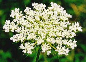 Wild Carrot Flower In America We Call It Queen Anne S Lace If