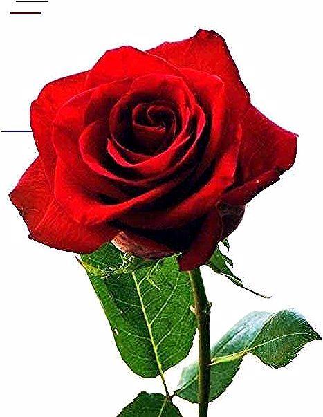 Terbaru 28 Gambar Kartun Bunga Mawar Cantik Download 640 Gambar