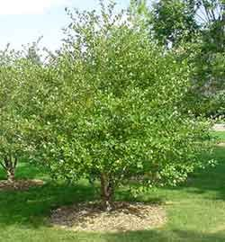 Washington Hawthorn Tree Google Search Sidewalk Medium Trees For Vancouver Wa Pinterest Plant Nursery Front Yards And Plants