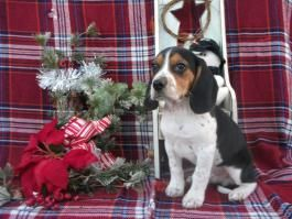 Price Under 300 Beagle Puppy Lancaster Puppies Cute Animals