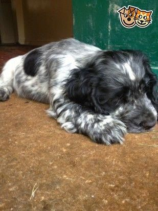 Beautiful Blue Roan Cocker Spaniel Dog Pershore Worcestershire Pets4homes Cockerspanielblueroa Blue Roan Cocker Spaniel Cocker Spaniel Cocker Spaniel Dog