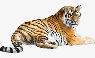 Tiger Png Images Tiger Clipart Free Download Tiger Free Clip Art Png