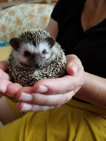 Car Sez On Tucson Craigslist What Hedgehogs Hedgehog Animals Ferret