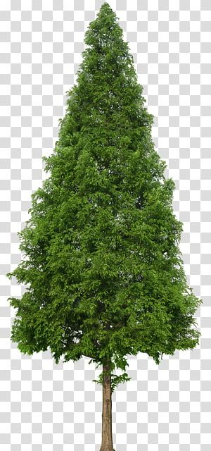 Green Tree Evergreen Tree Douglas Fir Trees Transparent Background Png Clipart Evergreen Trees Green Trees Fir Christmas Tree
