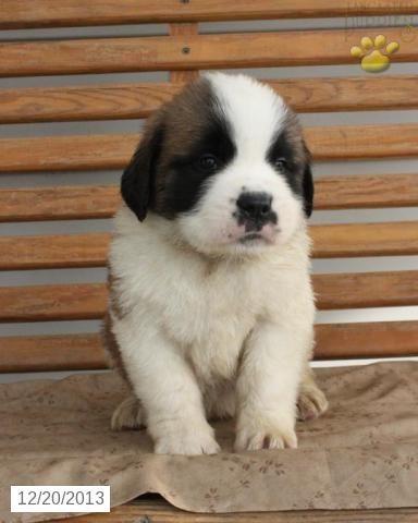 Saint Bernard Puppy for Sale   Saint Bernard Puppies   St bernard