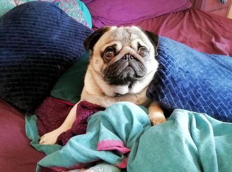 Buster Find A Pet Rspca Org Uk Pug Cross Puggle Pugs