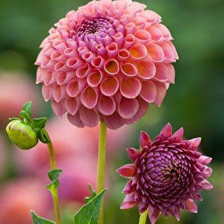 Dahlia Jowey Winnie Rc 1m 10cm E With Preference X 3 Dahlia Flower Arrangements Flower Farm Flowers