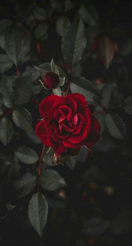 17 Ideas Plants Wallpaper Iphone Black Plants Wallpaper Red Red Roses Wallpaper Dark Red Roses Rose Wallpaper